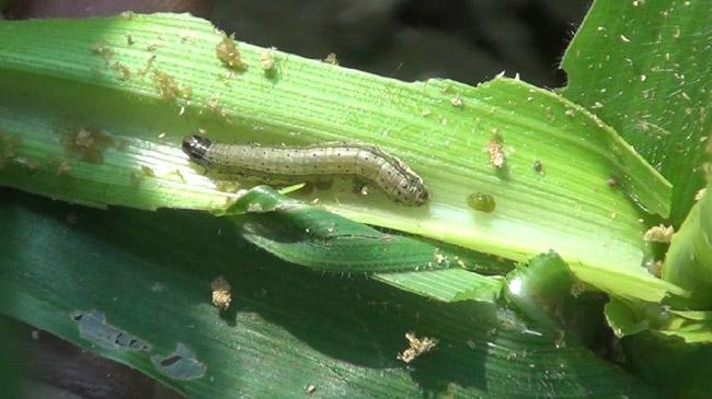 army worm infection 1